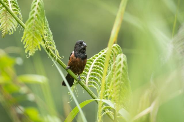 Finch chestnut
